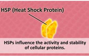 HSP-фактор-белки-теплового-шока-шапероны
