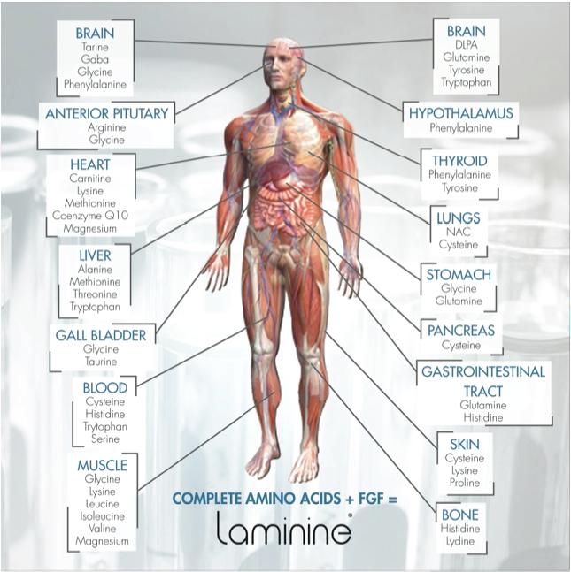ламинин аминокислоты