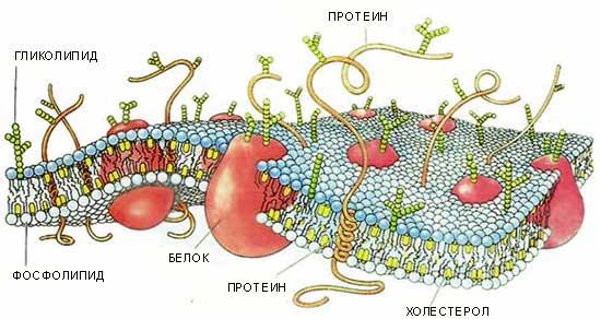 структура клеточной мембраны