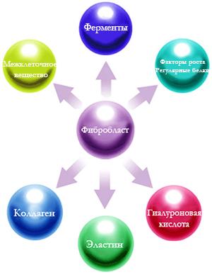 Фибробласты Факторы Роста