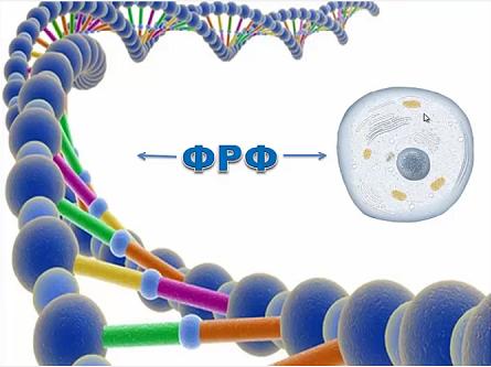 факторы роста фибробластов и ДНК