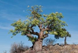 Чудо-дерево моринга и его природные силы